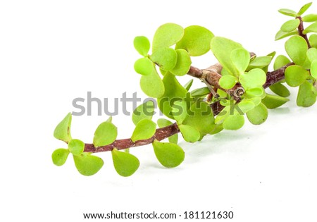 Isolated succulent : a cut branch of Portulacaria afra (Dwarf jade plant).
