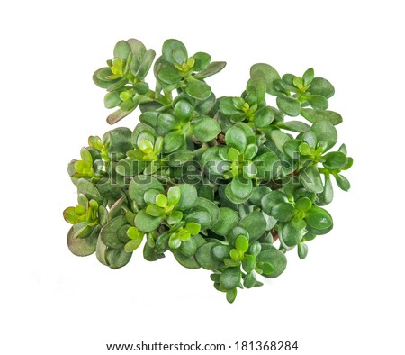 Isolated succulent : Top view shot of Crasula ovata (Jade plant). - stock photo