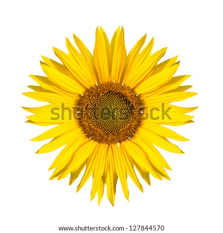 isolated sunflower - stock photo