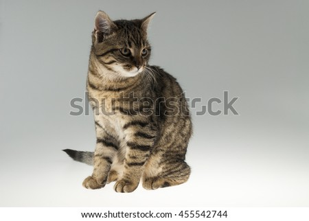 Isolated tabby cat, sitting on the table with blending background.