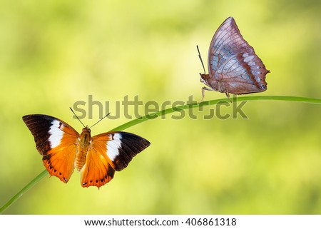 Isolated Tawny Rajah butterfly  with clipping path - stock photo