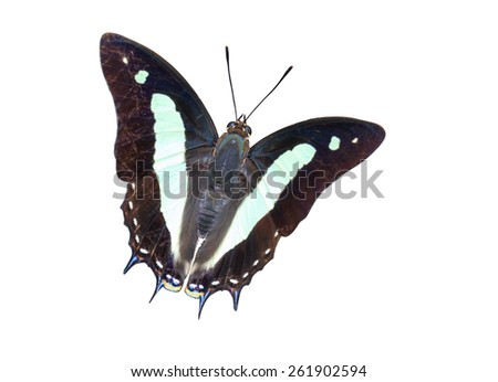 Isolated top view of common nawab butterfly with clipping path - stock photo