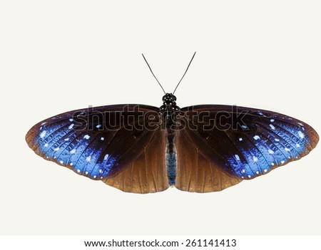 Isolated top view of striped blue crow butterfly with clipping path