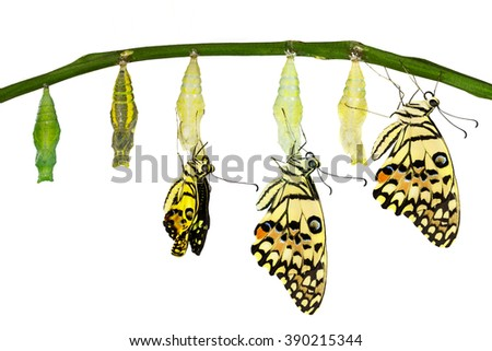 Isolated transformation of Lime Butterfly (papilio demoleus) with clipping path - stock photo