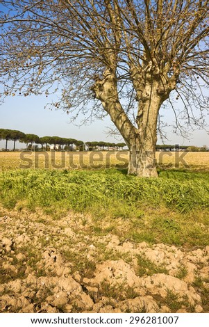 Isolated tree in a Tuscany countryside (Italy)