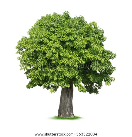 Isolated tree on white background - stock photo