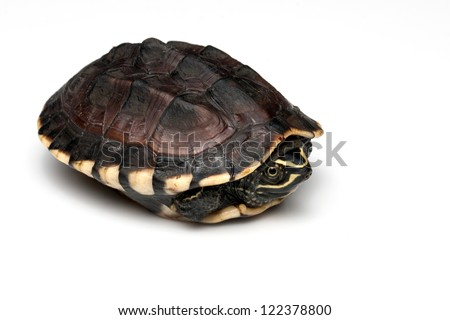isolated turtle - stock photo