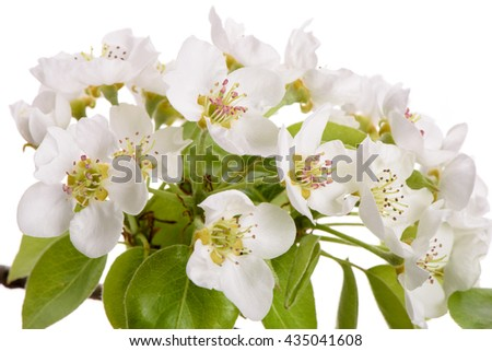 isolated twig with leaves and bloom of pear tree