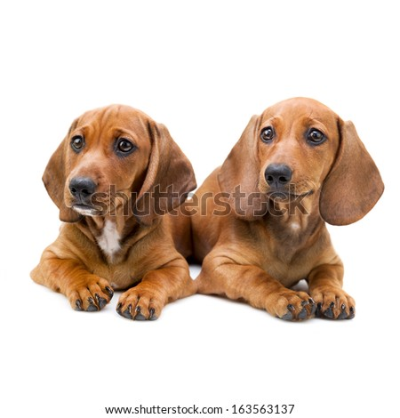 Isolated two cute  Dachshund puppies / sitting on white background
