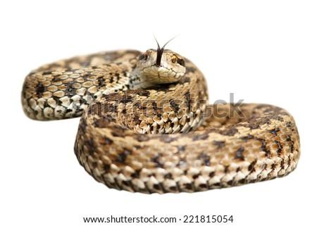 isolated venomous snake ( Vipera ursinii rakosiensis, the elusive european meadow viper )  ready to attack - stock photo