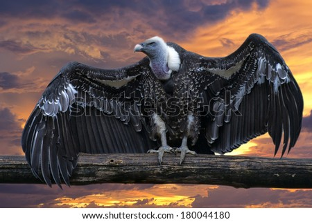 Isolated vulture, buzzard looking at you with open wings on the golden sunset background - stock photo