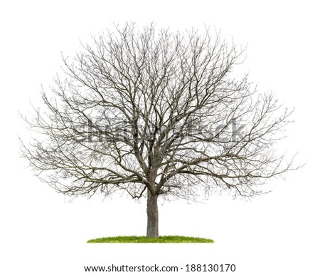 isolated walnut tree in the winter - stock photo