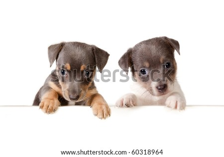 Isolated 6 weeks old jack russel puppy dogs with a white message - stock photo