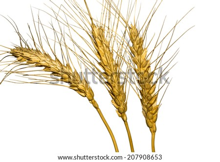Isolated wheat ears on a white background