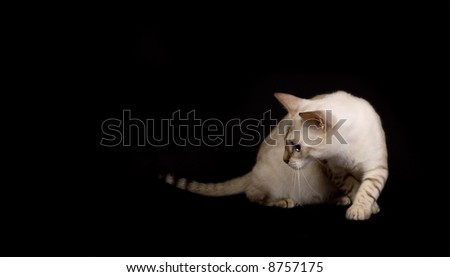 Isolated white bengal cat
