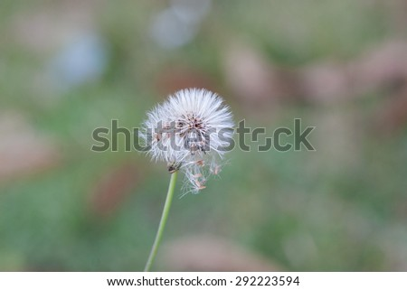Isolated white dandelion flower on green background - stock photo