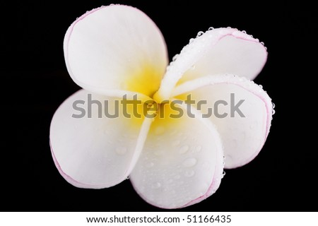 Isolated white frangipani flower in a black background with water drops.