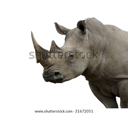 Isolated White Rhino