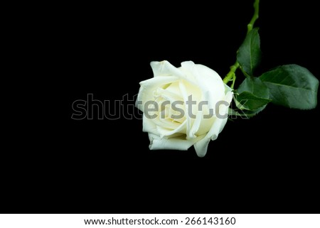 Isolated white rose on a black