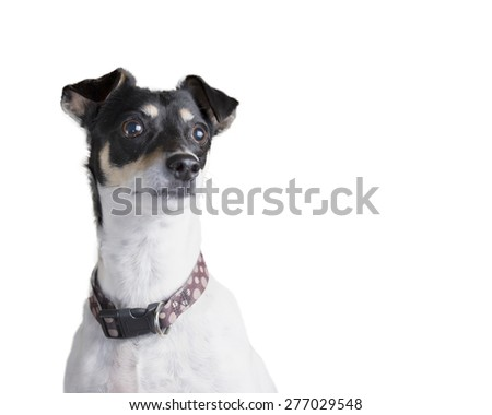 Isolated white Terrier dog with collar looking up and focused and concentrating on something.  Lots of copy space for advertising.