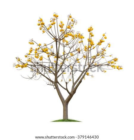 Isolated Yellow Cotton Tree on white background, Cochlospermum tree - stock photo
