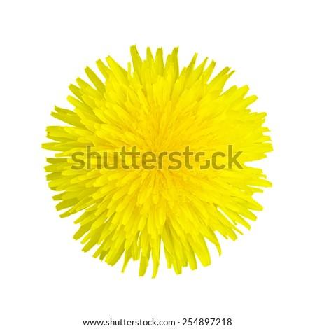 Isolated yellow dandelion on white background - stock photo