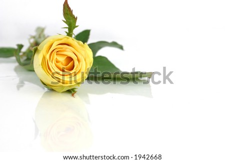 Isolated yellow rose.