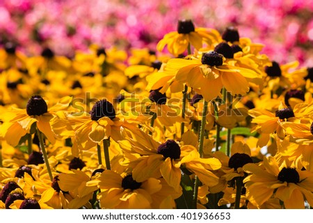 isolated yellow rudbeckia flowers on pink background