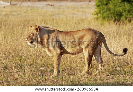 Isolated young male lion standing on the plains in Hwange National Park