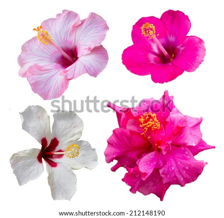 Isolates of the four hibiscus flowers are different colors and varieties. - stock photo