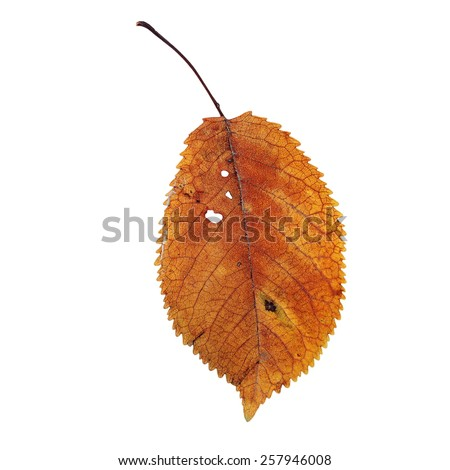 isolation of a beautiful faded cherry leaf, autumn symbol - stock photo
