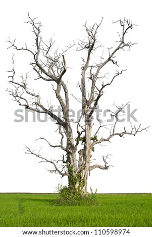 Isolation of a dead tree standing on the rice farmers in Thailand. - stock photo