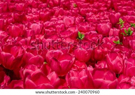 Istanbul tulips - stock photo