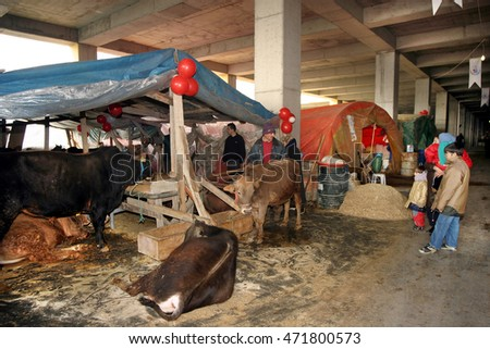 ISTANBUL, TURKEY - OCTOBER 12: Cows in the barn before feast of the sacrifice (Kurban Bayrami) on October 12, 2012 in Istanbul, Turkey.
