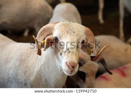 ISTANBUL, TURKEY - OCTOBER 16: Sheep in the barn before feast of the sacrifice on October 16, 2012 in Istanbul, Turkey. - stock photo