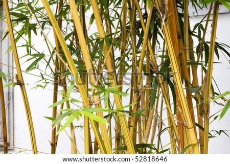 it is a close up with bamboo forest background. - stock photo
