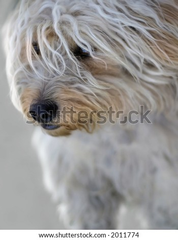 It is a cute young white dog.  The image is very soft, the DOF is shallow, focused on the eyes and the noise. - stock photo