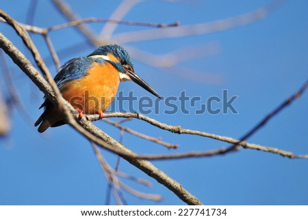 It is a male kingfisher of perch