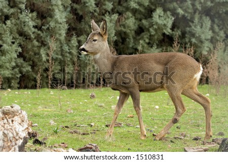 it is a red deer - stock photo