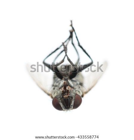 It is Dead black fly isolated on white. - stock photo