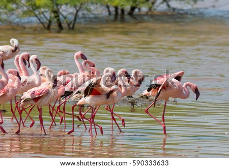 It is flock of wild birds flamingos. Kenya. Africa. Nakuru National Park. Lake Bogoria National Reserve. An excellent illustration.