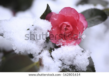 It is fresh snow to the flower of a camellia.