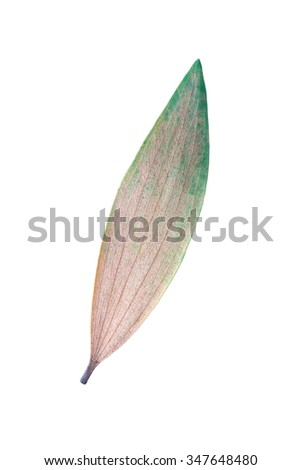 It is One dry eucalyptus leaf isolated on white. - stock photo