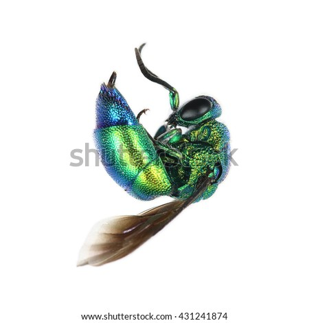It is One oriental fruit fly isolated on white. - stock photo