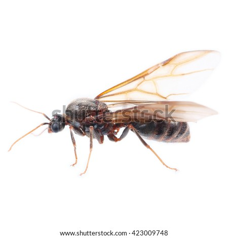 It is One winged ant isolated on white. - stock photo
