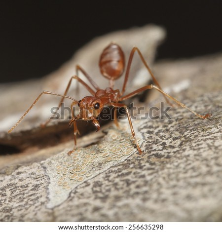 It is Orange ant opens mouth for pattern. - stock photo