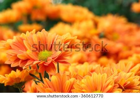 It is Orange flowers with orange background. - stock photo