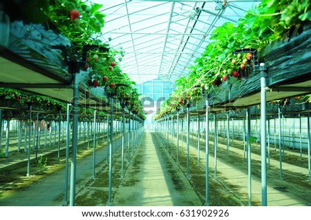 https://thumb1.shutterstock.com/display_pic_with_logo/167494286/631902926/stock-photo-it-is-strawberry-hunting-of-japan-631902926.jpg