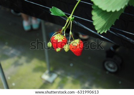 https://thumb1.shutterstock.com/display_pic_with_logo/167494286/631990613/stock-photo-it-is-strawberry-hunting-of-japan-631990613.jpg