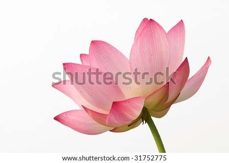 It is the beautiful lotus flower photo. - stock photo